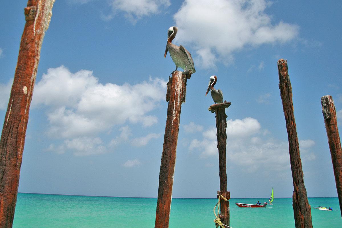 Pelikaner på Aruba (Foto: Göran Ingman)